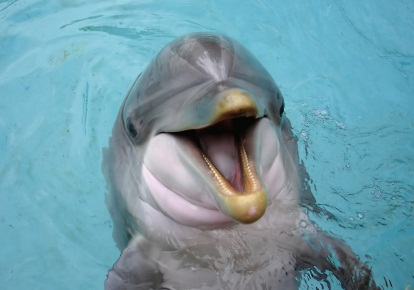 bottlenose dolphin facts - a smiling bottlenose dolphin