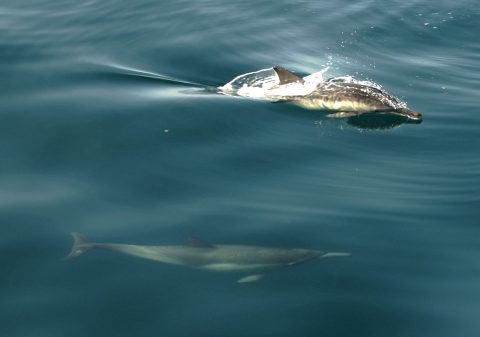 A pair of common dolphins