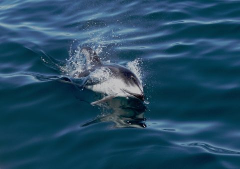 Dolphin swimming picture - Not your usuall dolphin picture: This is a Pacific Whiteside dolphin