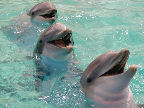 Information on bottlenouse dolphins - happy dolphin pictures