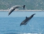 Jumping dolphins picture