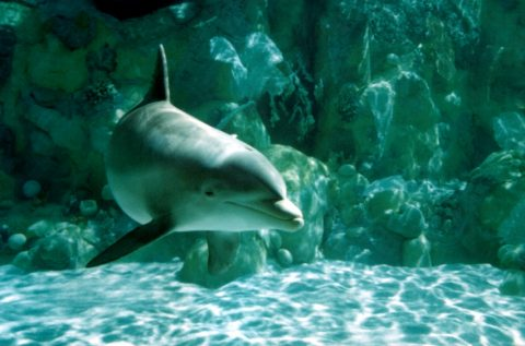 Underwater dolphin pictures - diving dolphins