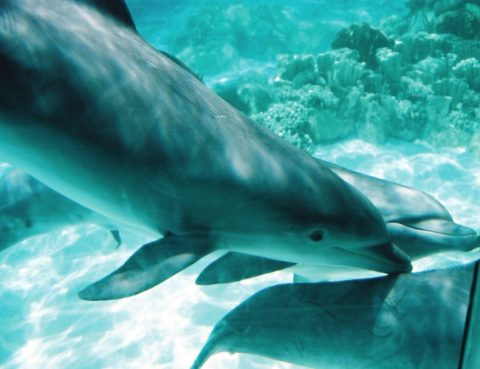 Underwater dolphin pictures with the coral reef in the background